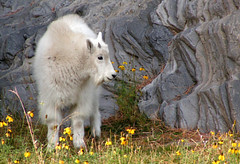 Baby Mountain Goat - by StarfireRayne