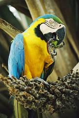 Amazon Ara - Free flying!! (hvhe1) Tags: nature brasil ilovenature wildlife wetlands pantanal hennie hvhe1 hennievanheerden