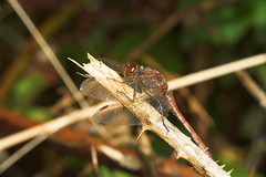 """Common Darter Dragonfly (Sympetrum st(5) • <a style=""""font-size:0.8em;"""" href=""""http://www.flickr.com/photos/57024565@N00/259862152/"""" target=""""_blank"""">View on Flickr</a>"""