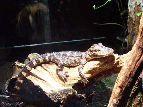 "American Alligator ""Alligator missisippiensis"""