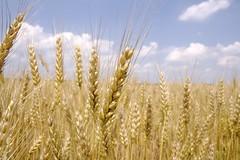 farm wheat