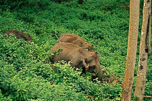 Elephants in Munnar