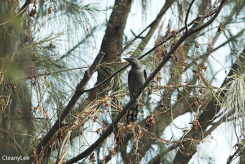 21785 ????? Black-winged Cuckoo Shrike