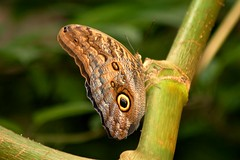 Giant Owl Butterfly - by Phil