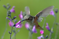 (wmchu) Tags: bird hummingbird rufoushummingbird selasphorusrufus wildbird salviagreggii animalkingdomelite autumnsage