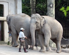 Elephants with Zookeepers (Danburg Murmur) Tags: elephant geotagged taiwan zookeeper taipei   elephasmaximus   geo:lat=24993926703085453 geo:lon=12158326929801933
