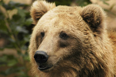 Grizzly portrait (ucumari) Tags: bear sc animal mammal zoo nikon october d70s 2006 columbia nikond70s grizzly brownbear riverbanks grizzlybear riverbankszoo columbiasc october2006 ucumari animalkingdomelite ucumariphotos ucumariphotography
