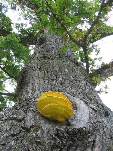 Un champignon sur un chêne