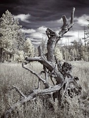 Dragon (Cocoabiscuit) Tags: freeassociation ir nationalpark explore infrared yellowstone wyoming interestingness205 cocoabiscuit