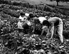 Picking beans on the family farm (John Collier Jr.) Tags: blackandwhite bw usa history classic film museum america vintage collier children us photographer unitedstates propaganda wwii farming documentary patriotic roosevelt historic professional worldwarii 1940s archives maxwell ww2 americana civildefense patriotism archival forties largeformat anthropology homefront worldwar2 40s fsa wartime newdeal owi waryears farmsecurityadministration officeofwarinformation johncollierjr