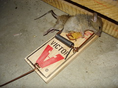 right in the gut (squareintheteeth) Tags: death mice rodents thieves traps vermin banditos themotherland deathtraps