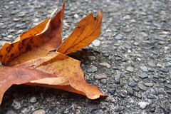 down but not out yet (poopoorama) Tags: autumn orange fall digital concrete washington leaf oneleaf seasons ground f30 finepix fujifilm bellevue utataleaf utatathursdaywalk28