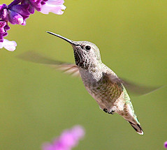 Suspended (Joshua Liberman - The Tao of Photography) Tags: flowers flower floral birds closeup digital canon botanical flora hummingbird bokeh 5d hummer inquisative birdphoto specanimal abigfave jerikojosh smallmonk ctocpersonalfavorite weeklyfav06