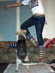 lola +radiohead shirt. (menamachines) Tags: bear blue dog feet dogs me socks wall shirt toy foot belt sock pants legs tail leg lola couch string blinds radiohead couches pant