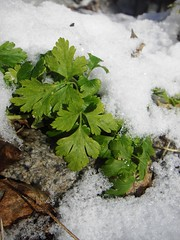 parsley in the snow