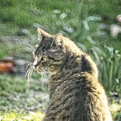 20180418-185903 - Cat Garden Bokeh (torstenbehrens) Tags: cat garden bokeh schleswigholstein deutschland olympus penf m42f8500mm zhongyi objektiv turbo ii efm43 wecellent m42ef adapter