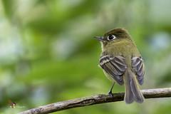 Yellowish Flycatcher (fernaabs) Tags: yellowish flycatcher empidonax flavescens mosquerito amarillento passeriformes tyrannidae aves avesdecostarica fernaabs burgalin