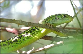 Lézard vert - Green lizard (Lacerta sp.)