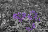 Purple Blooms (Thomas  Johnson Photography) Tags: missouri unitedstates outside outdoors canon digital 5d markiv 5dmarkiv bloom blooms blooming spring purple selectivecolor blackandwhite beautiful paddycreekwildernessarea thomasjohnsonphotography ©thomasjohnsonphotography ©2018thomasjohnsonphotographer 2018 wilderness gravelroadphotography gravelroad isolated