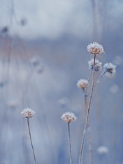 #PicOfTheDay Flowers in the winter (Candidman) Tags: flowers winter cold snow frost