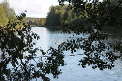 Wiew through the branch (Ievinya) Tags: lakeside ezermala ulbrokalake ulbrokasezers stopiņi stopini autumn fall rudens trees branches lake water swans gulbji gulbīši ainava landscape nature daba