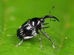 Weevil with tusks, Baridinae, Curculionidae (Ecuador Megadiverso) Tags: andreaskay beetle coleoptera curculionidae ecuador focusstack tusk weevil baridinae