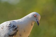 DSC_1639_DxO (robfarmiloe) Tags: tc200 d750 pigeon wildlife 400mm f35 nikkor dove white