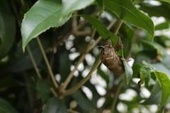 180720008 (murbozero) Tags: murbo japan cicada