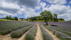 When the Good Lord begins to doubt the world, he remembers that he created Provence - Frederic Mistral (Peter Jaspers) Tags: frompeterj© 2018 olympus zuiko omd em10 918mm widescreen 169 provence luberon plateaudalbion summer france french lavender lavande clouds sky sault sainttrinit tree colors 52in2018 18sky