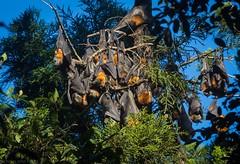 fruit bat cluster (dustaway) Tags: pteropuspoliocephalus greyheadedflyingfox blossombatcolony rprr rotaryparkrainforestreserve northernrivers lismore nature nsw australia