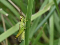 Mecostethus parapleurus (bathyporeia) Tags: mecostethusparapleurus orthoptera france heugnes indre ©hanshillewaert
