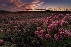 Northern bloom / Floraison nordique (www.andrebherer.com) Tags: nature wildlife landscape kalmia sepaq reservefauniqueassinica assinica flower fleurs brulis burn foretsfire nordduquebec quebec canada andrebherer