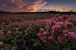 Northern bloom / Floraison nordique