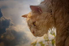 Storm clouds over Linus (FocusPocus Photography) Tags: linus katze kater cat chat gato tier animal haustier pet gewitterwolken stormclouds