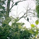 newly fledged eaglet below nest thumbnail