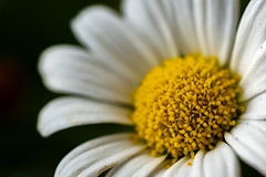 oxeye daisy - Leucanthemum vulgare (Carandoom) Tags: 2018 flower oxeye daisy leucanthemum vulgare summer macro lens 90mm sony alpha7 a7 m3 photo photography yellow white