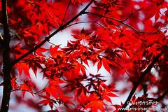 Acer Leaves (martinsmith99) Tags: acer flowers flower seasons spring