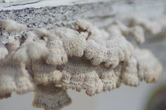 Adirondack Mushrooms (erluko) Tags: uncropped sooc white adirondackchair paint peeling crusty tamronaf70300mmf456ldmacro12 sigmax14teleconverteraf macro mushroom fungus decay macromondays