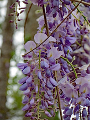 Wisteria Blossoms. (dccradio) Tags: lumberton nc northcarolina robesoncounty sky cloudy overcast greysky graysky tree trees woods wooded forest wisteria plant vine flower flowering floral flowers bloom blooming bud budding purple lavender beauty pretty nature natural scenic outdoor outdoors outside lutherbrittpark park citypark spring springtime bokeh canon powershot elph 520hs