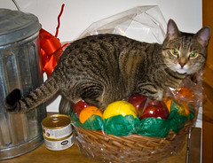 Fruit and Cat Basket - Adam Mattessich (Adam Mattessich) Tags: cat fruit basket adammattessich adoptdontshop rescuecat tabby trouble