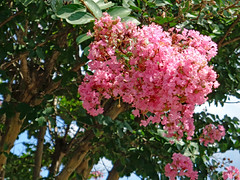 Pink Crape Myrtle. (dccradio) Tags: lumberton nc northcarolina robesoncounty outdoor outdoors outside nature natural summer summertime august sunday afternoon sony cybershot dscw830 crepemyrtle crapemyrtle flower floral flowering flowers plant tree trees greenery leaf leaves foliage summerfoliage bloom blooming blossom blossoms blossoming pretty scenic beauty godshandiwork godscreation