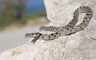 Cat Snake (Telescopus fallax) 1 of 5 images