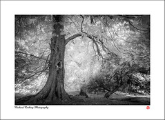 Petworth Park (Chalky666) Tags: tree trees wood woodland forest southdowns westsussex landscape infrared mono art