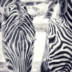 2018-07-27_11-42-39 (hullcameron174) Tags: hdraward zebra blackwhite