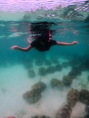 Giant Clams Fun (PacificKlaus) Tags: tridacna tridacnagigas giantclam bolinao pangasinan philippines underwater ocean nature animal universityofthephilippines marinescienceinstitute marinelab underwaterphotography