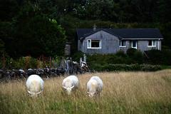Hebrides 103 (onesecbeforethedub) Tags: vilem flusser technical images onesecbeforetheend onesecbeforethedub hebrides travel travelling traveling isle mull sheep