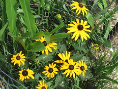 Summertime favorites (creed_400) Tags: belmont west michigan summer july black eyed susans flowers