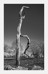 Dancing tree. (Martyn.A.Smith LRPS) Tags: tree outdoors branch bark grass trees sky object different unusual strange monochrome countryside old aged fujifilm xt2 snag