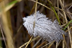 Dew Drops on Dove Feather (Ginger H Robinson) Tags: dew water droplets dove bird feather grass heavy fog summer morning rockymountain frontrange colorado macro