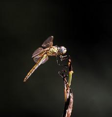 Por fin las vi. (angelalonso4) Tags: 56 640 300mm 200 nature canon eos 1300d 70300mm ƒ56 3000 mm 1640 insecto